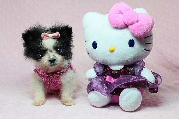 Micro Cinderella - Tiny Teacup Pomeranian Puppy has found a good loving home with Michael from Las Vegas, NV 89169-27543