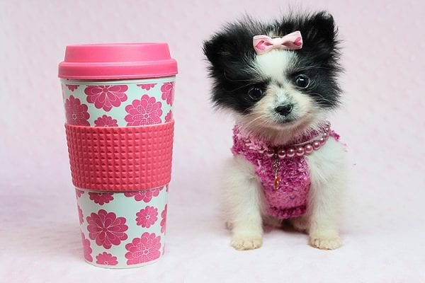 Micro Cinderella - Tiny Teacup Pomeranian Puppy has found a good loving home with Michael from Las Vegas, NV 89169-27544