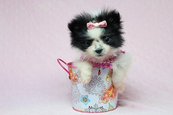 Micro Cinderella - Tiny Teacup Pomeranian Puppy has found a good loving home with Michael from Las Vegas, NV 89169-27545