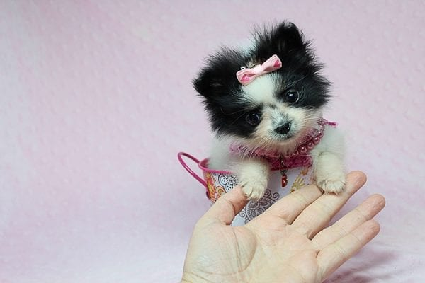 Micro Cinderella - Tiny Teacup Pomeranian Puppy has found a good loving home with Michael from Las Vegas, NV 89169-27546
