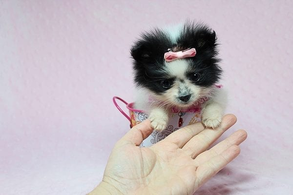 Micro Cinderella - Tiny Teacup Pomeranian Puppy has found a good loving home with Michael from Las Vegas, NV 89169-27547