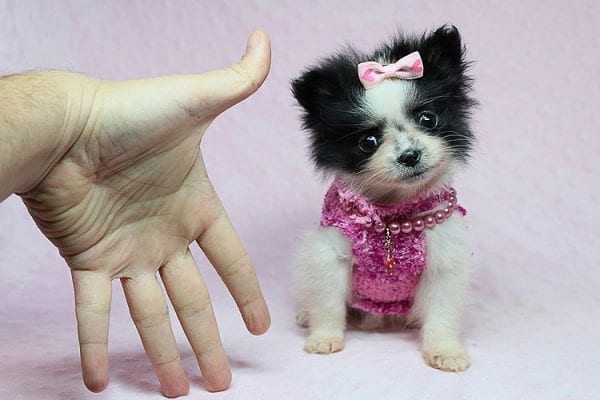 Micro Cinderella - Tiny Teacup Pomeranian Puppy has found a good loving home with Michael from Las Vegas, NV 89169-27538