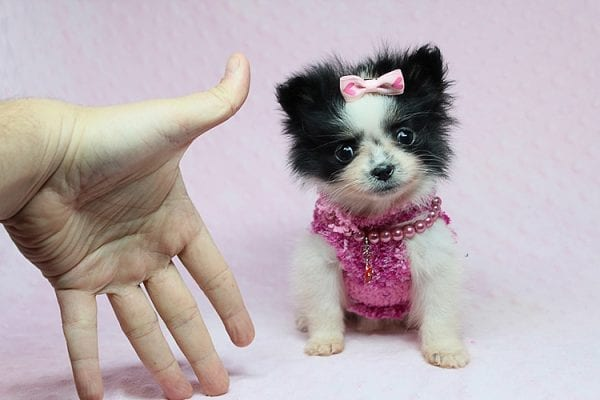 Micro Cinderella - Tiny Teacup Pomeranian Puppy has found a good loving home with Michael from Las Vegas, NV 89169-27539