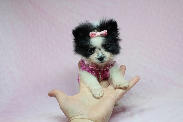 Micro Cinderella - Tiny Teacup Pomeranian Puppy has found a good loving home with Michael from Las Vegas, NV 89169-0