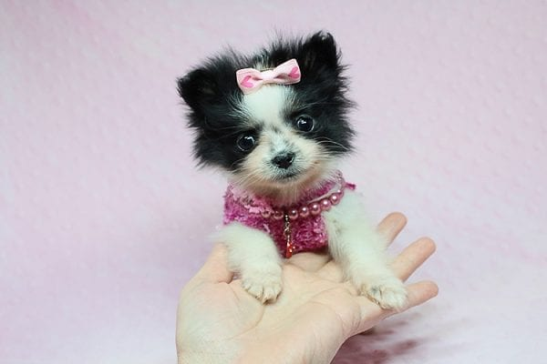 Micro Cinderella - Tiny Teacup Pomeranian Puppy has found a good loving home with Michael from Las Vegas, NV 89169-27541
