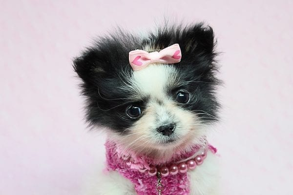 Micro Cinderella - Tiny Teacup Pomeranian Puppy has found a good loving home with Michael from Las Vegas, NV 89169-27542