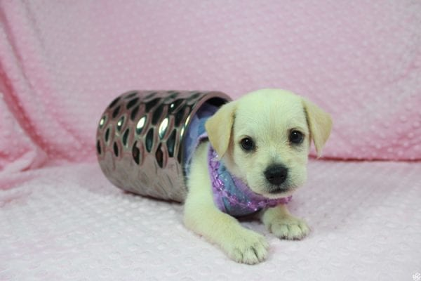 Miny - Toy Malchi Puppy has found a good loving home with Susan from Henderson, NV 89015-24470