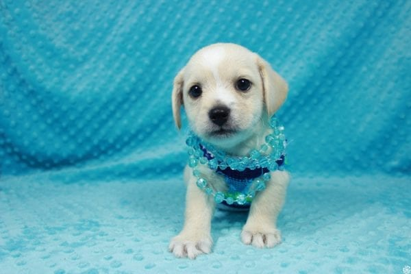 Moe - Toy Malchi Puppy has found a good loving home with Scott from Oak Park, CA 91377-24499