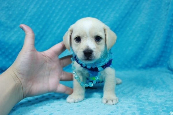Moe - Toy Malchi Puppy has found a good loving home with Scott from Oak Park, CA 91377-0
