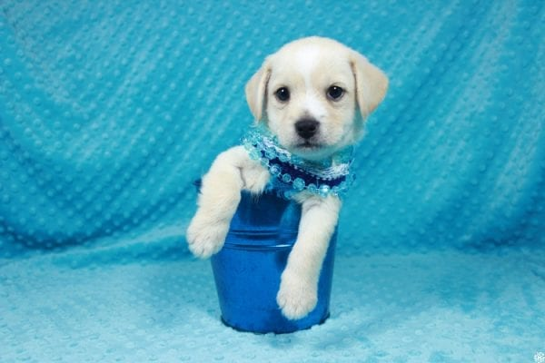 Moe - Toy Malchi Puppy has found a good loving home with Scott from Oak Park, CA 91377-24503