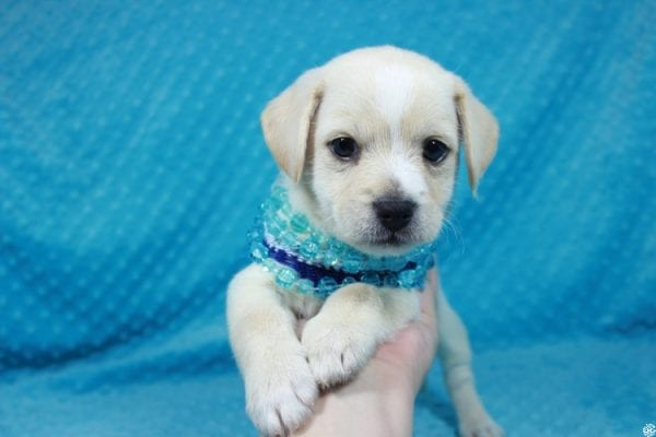 Moe - Toy Malchi Puppy has found a good loving home with Scott from Oak Park, CA 91377-24505