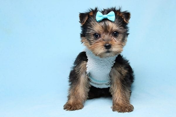 Noah - Teacup Yorkie Puppy-27700