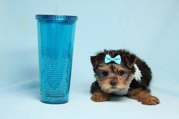Noah - Teacup Yorkie Puppy-27704