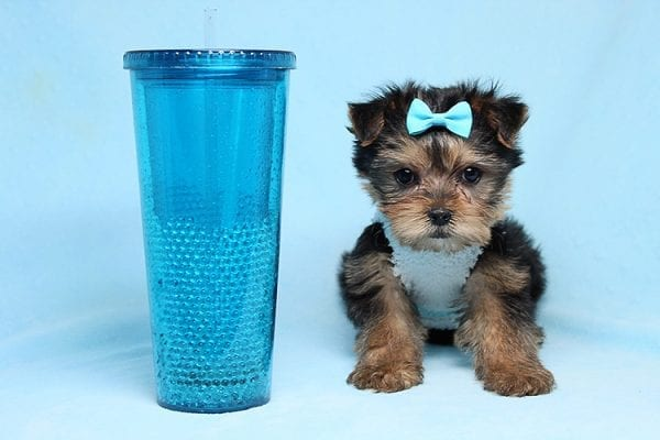 Noah - Teacup Yorkie Puppy-27705