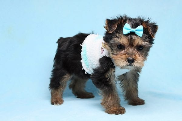 Noah - Teacup Yorkie Puppy-27706