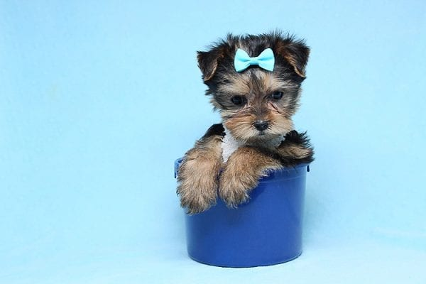 Noah - Teacup Yorkie Puppy-27707
