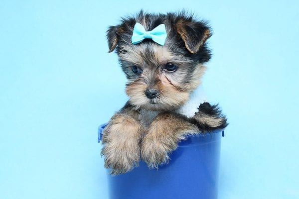 Noah - Teacup Yorkie Puppy-27709