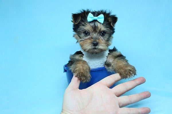 Noah - Teacup Yorkie Puppy-0