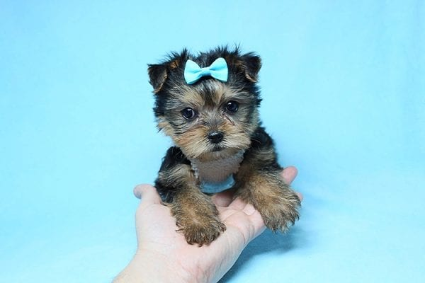 Noah - Teacup Yorkie Puppy-27699