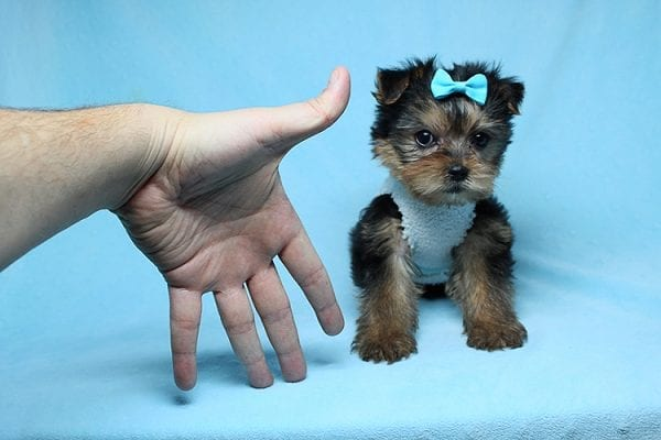Noah - Teacup Yorkie Puppy-27701