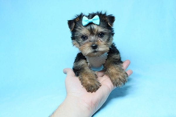 Noah - Teacup Yorkie Puppy-27703