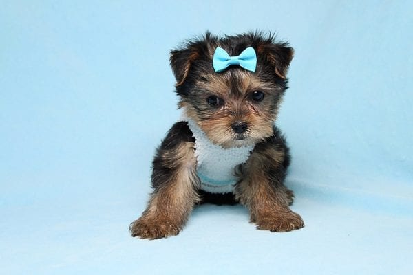 Noah - Teacup Yorkie Puppy-27702