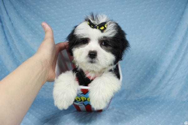 Paw Patrol - Toy Malshi Puppy has found a good loving home with Sarmad from Las Vegas, NV 89183-24700