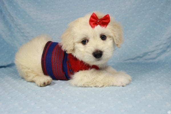 Snoopy - Toy Maltipoo Puppy has found a good loving home with Jessica from Los Angeles, CA 90032-24709