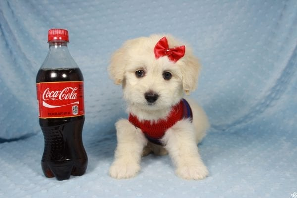 Snoopy - Toy Maltipoo Puppy has found a good loving home with Jessica from Los Angeles, CA 90032-24711