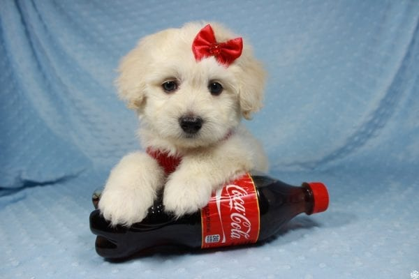 Snoopy - Toy Maltipoo Puppy has found a good loving home with Jessica from Los Angeles, CA 90032-24710
