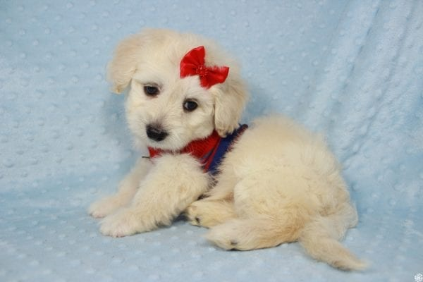 Snoopy - Toy Maltipoo Puppy has found a good loving home with Jessica from Los Angeles, CA 90032-24712