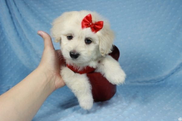 Snoopy - Toy Maltipoo Puppy has found a good loving home with Jessica from Los Angeles, CA 90032-24713