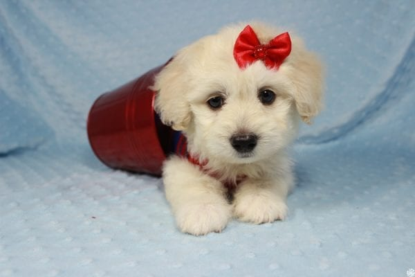 Snoopy - Toy Maltipoo Puppy has found a good loving home with Jessica from Los Angeles, CA 90032-24714