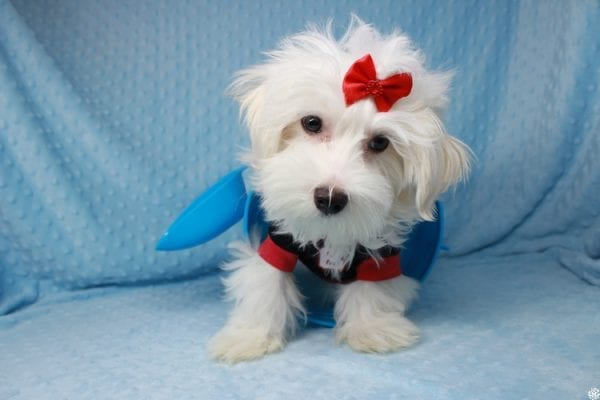 Prince Charming - Toy Maltese Puppy has found a good loving home with Martina from Las Vegas, NV 89139-0