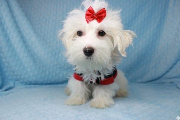Prince Charming - Toy Maltese Puppy has found a good loving home with Martina from Las Vegas, NV 89139-25342