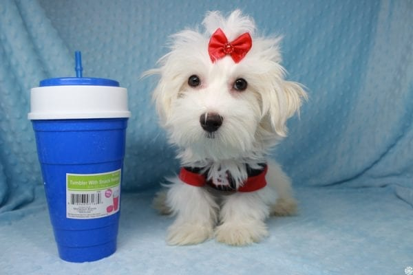 Prince Charming - Toy Maltese Puppy has found a good loving home with Martina from Las Vegas, NV 89139-25341