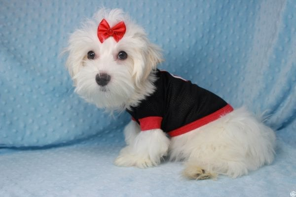 Prince Charming - Toy Maltese Puppy has found a good loving home with Martina from Las Vegas, NV 89139-25337