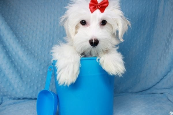 Prince Charming - Toy Maltese Puppy has found a good loving home with Martina from Las Vegas, NV 89139-25338