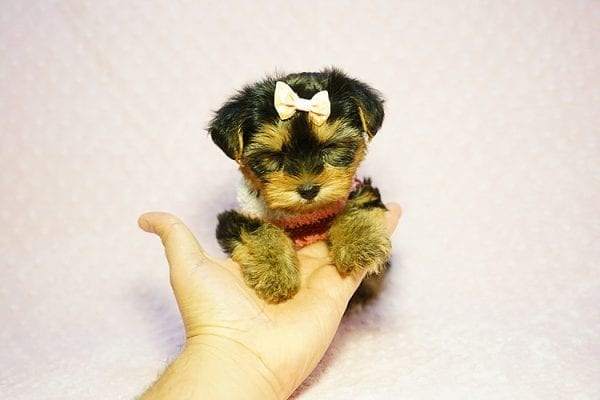 Queen Elizabeth - Tiny Teacup Yorkie Puppy has found a good loving home with Vicky from West Hills, CA 91304-24392