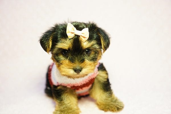 Queen Elizabeth - Tiny Teacup Yorkie Puppy has found a good loving home with Vicky from West Hills, CA 91304-24398