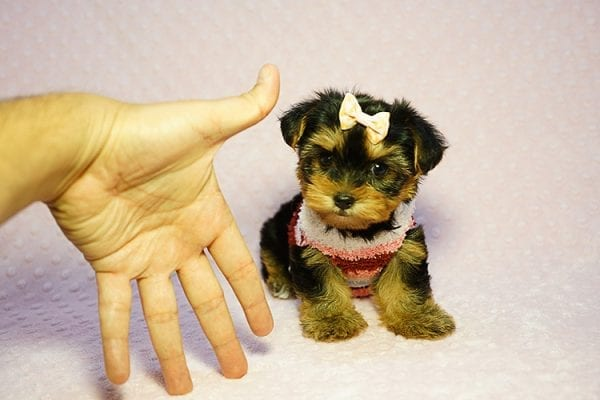 Queen Elizabeth - Tiny Teacup Yorkie Puppy has found a good loving home with Vicky from West Hills, CA 91304-24399