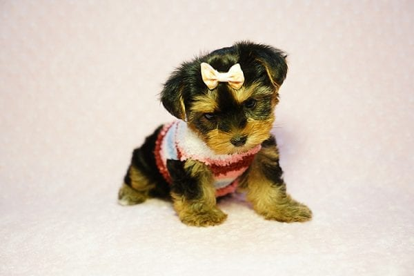 Queen Elizabeth - Tiny Teacup Yorkie Puppy has found a good loving home with Vicky from West Hills, CA 91304-24401