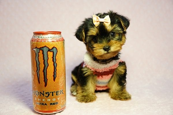 Queen Elizabeth - Tiny Teacup Yorkie Puppy has found a good loving home with Vicky from West Hills, CA 91304-24400