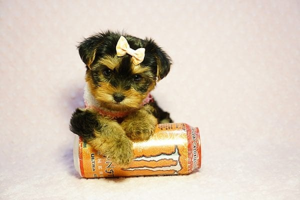 Queen Elizabeth - Tiny Teacup Yorkie Puppy has found a good loving home with Vicky from West Hills, CA 91304-24402