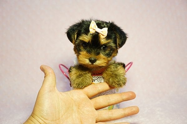 Queen Elizabeth - Tiny Teacup Yorkie Puppy has found a good loving home with Vicky from West Hills, CA 91304-24403