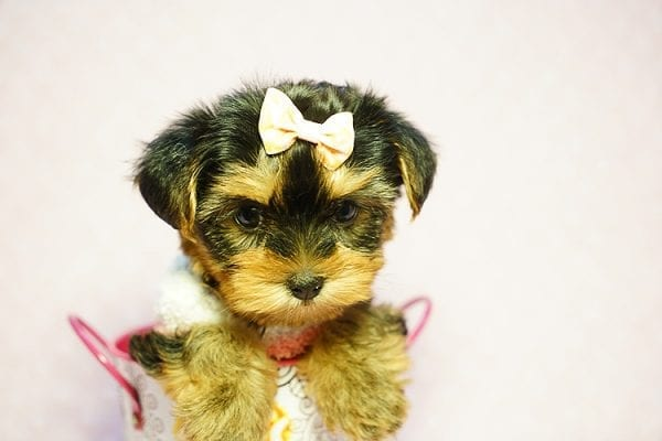 Queen Elizabeth - Tiny Teacup Yorkie Puppy has found a good loving home with Vicky from West Hills, CA 91304-24405