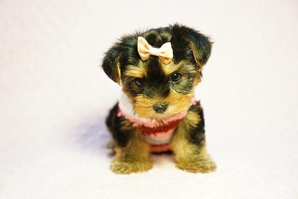 Queen Elizabeth - Tiny Teacup Yorkie Puppy has found a good loving home with Vicky from West Hills, CA 91304-24406