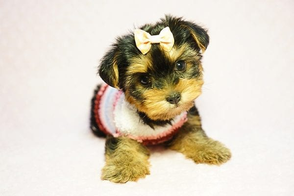 Queen Elizabeth - Tiny Teacup Yorkie Puppy has found a good loving home with Vicky from West Hills, CA 91304-24393