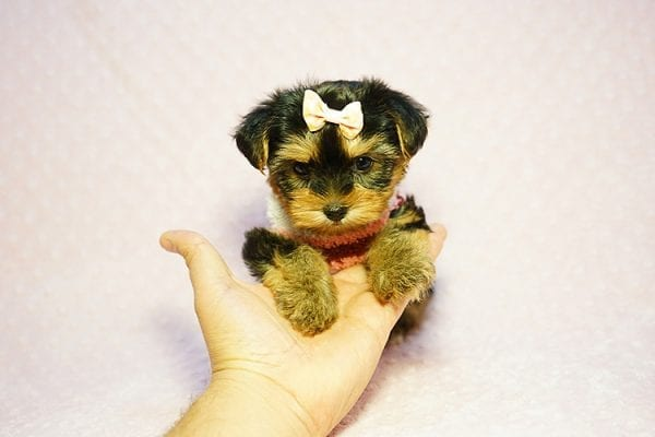 Queen Elizabeth - Tiny Teacup Yorkie Puppy has found a good loving home with Vicky from West Hills, CA 91304-24394