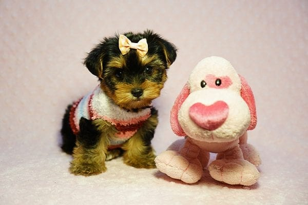 Queen Elizabeth - Tiny Teacup Yorkie Puppy has found a good loving home with Vicky from West Hills, CA 91304-24395
